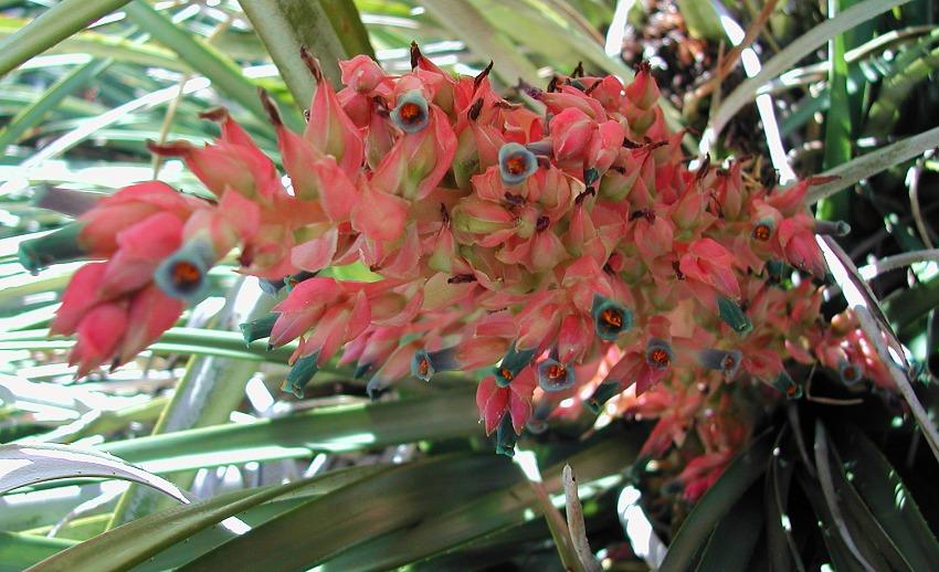 Pink & Turquoise Puya dyckioides