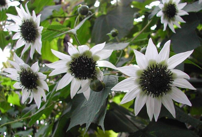 "Rojasianthe superba - ""White Tree Sunflower"""