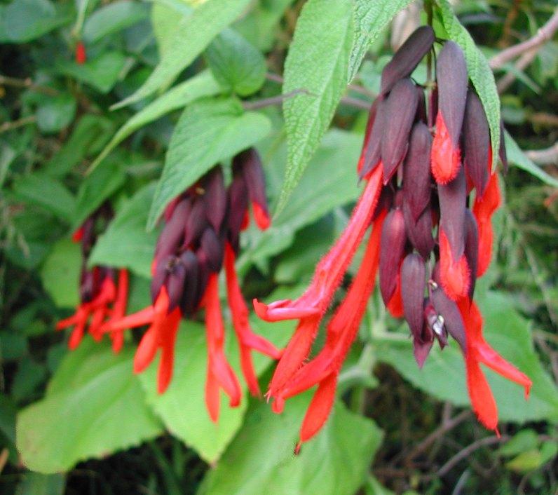 Salvia dombeyi - Sacred Incan Sage