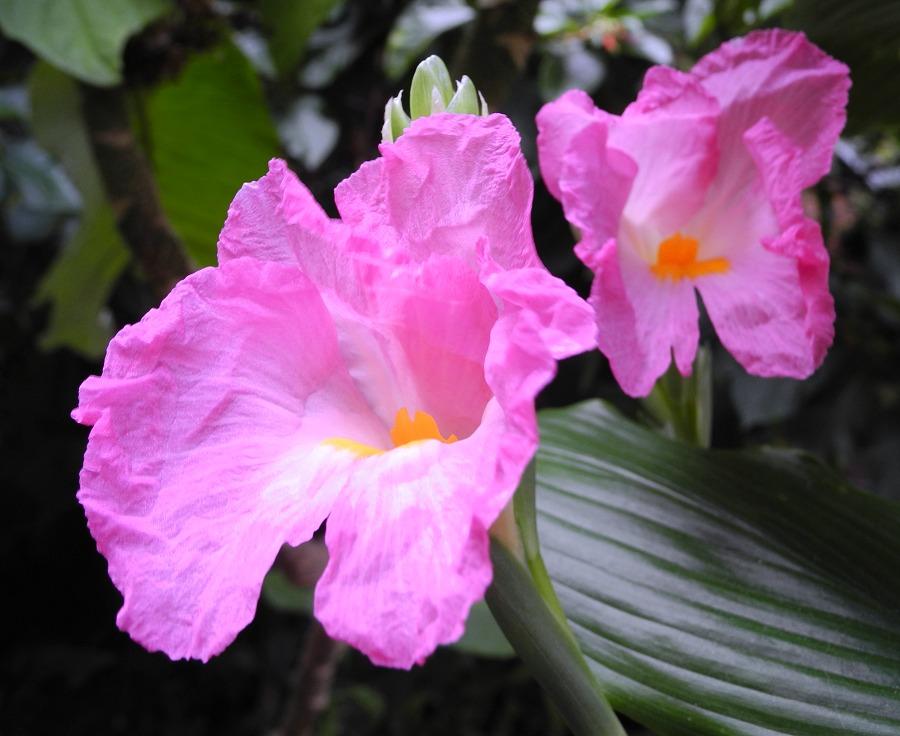 Siphonochilus kirkii - Pink African Trumpet Ginger