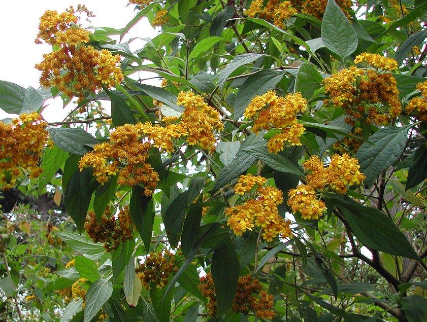 Squamopappus skutchii - Guatemalan Sunflower Bush