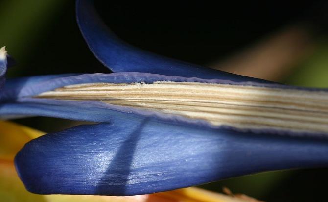 Yellow Strelitzia reginae 'Mandela's Gold'
