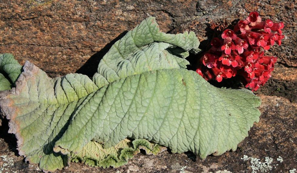 Streptocarpus dunnii from South Africa