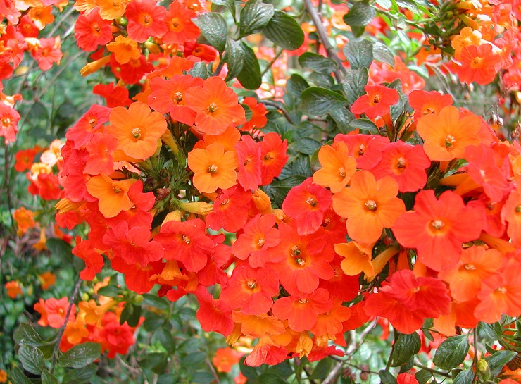 Orange Browallia