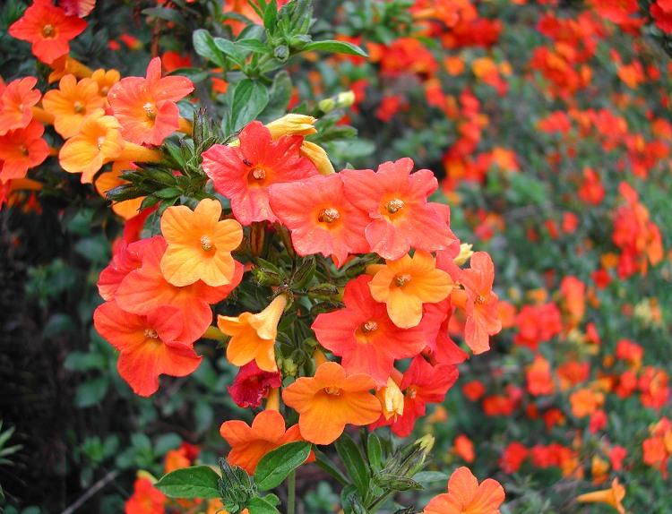 Marmalade Bush