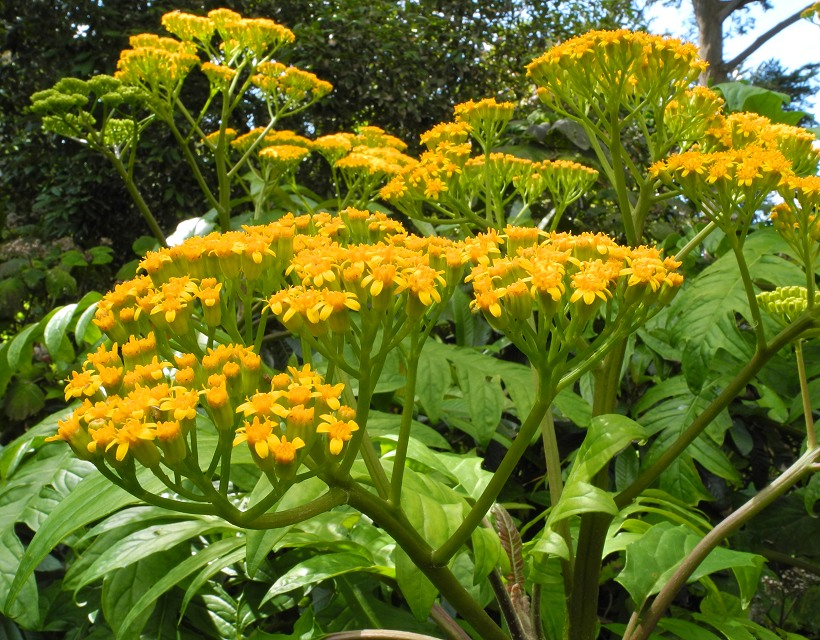 Telanthophora grandifolia