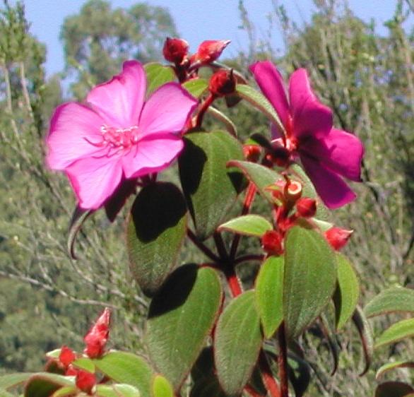Tibouchina cardinalis