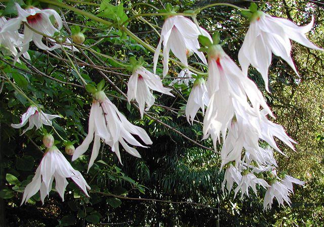 Dahlia campanulata - Tree Dahlia