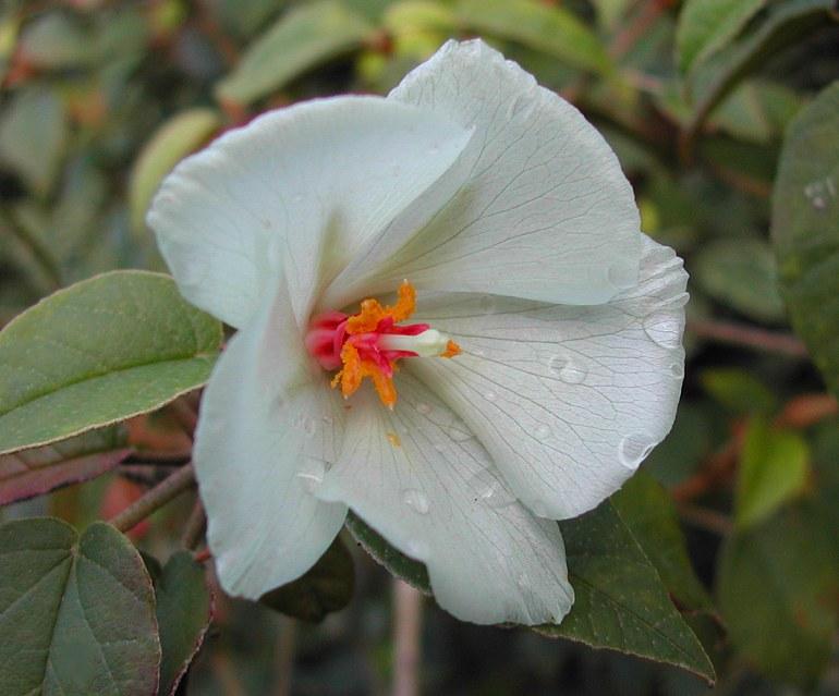 Trochetiopsis ebenus - St. Helena ebony