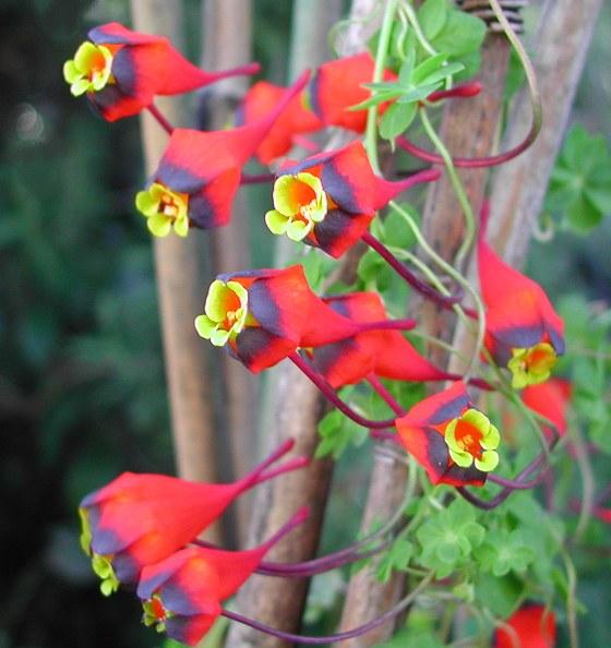 Tropaeolum tricolor - Chilean Nasturtium