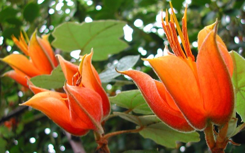 xChiranthomontodendron lenzii (xChiranthofremontia)